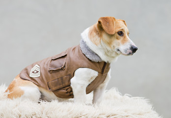 Dog in brown leather jacket sitting
