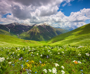 Fields of flowers in the mountains. Georgia, Svaneti.