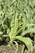 Allium porrum , Poireau, Blaustar