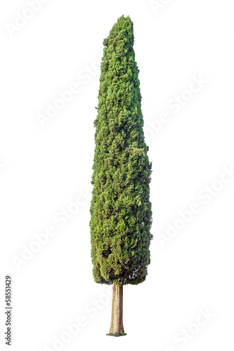 Cypress isolated on white background