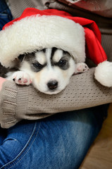 Siberian Husky puppy on hands