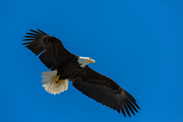 Bald Eagle flying free