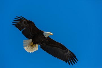 Bald Eagle flying free