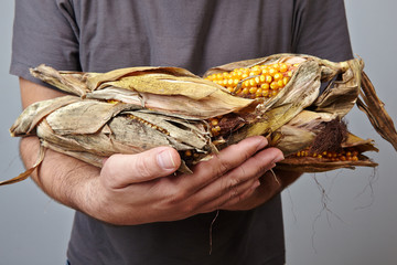 dry corn on man's hands