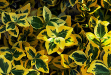 Smaragd Gold (Euonymus fortunei)