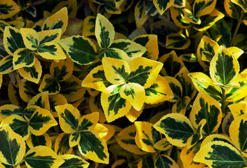 Emerald gold (Euonymus fortunei)