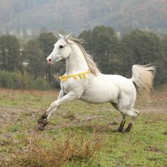 Nice white arabian stallion with flying mane