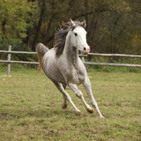 Nice grey arabian stallion with flying mane