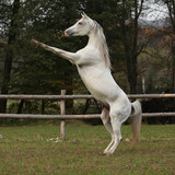 Gorgeous arabian stallion prancing