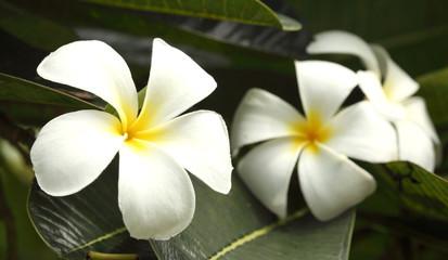 close-up shoot frangipani