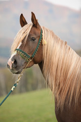 Gorgeous arabian stallion with long mane