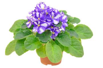 Saintpaulia flower in flowerpot