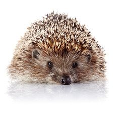 Prickly hedgehog on a white background
