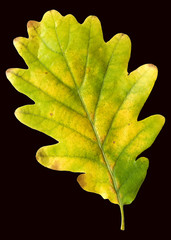 Eichenblatt, Herbstfaerbung, Quercus,