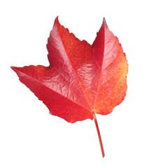 Wilder, Wein, Parthenocissus, Herbstfaerbung,