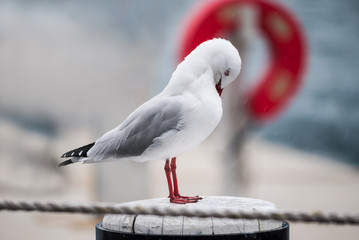 Seagull sheltering