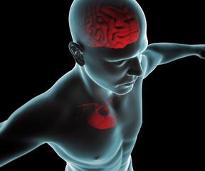 Corpo umano con cuore e cervello ai raggi x