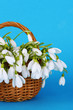 Spring snowdrop flowers in wicker basket, on color background