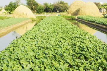 Green kale in field,Thailand.
