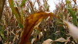 Walking through a Maize field with a steadycam