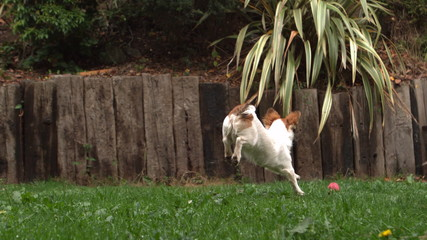Dog chasing a ball in the garden