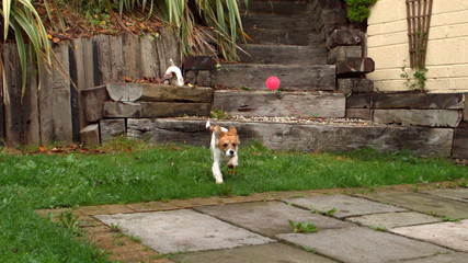 Dog running down steps and chasing a ball in the garden