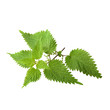 Leaves of nettle