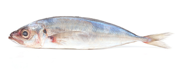 Fish jack mackerel