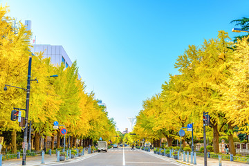 The ginkgo trees in front of Kanagawa Prefectural Government