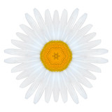 White Concentric Mandala Daisy Flower Isolated on Plain