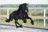 Black Friesian horse runs gallop in summer