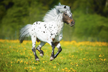 Appaloosa horse runs gallop on the meadow in summer time
