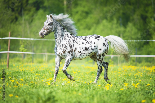 Fototapeta Appaloosa horse runs trot on the meadow in summer time