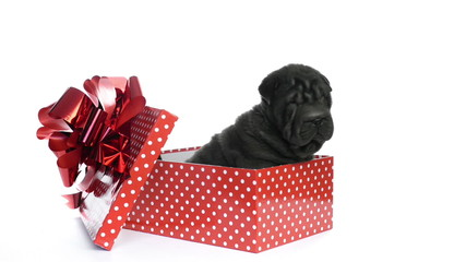 Shar pei puppy sitting in a gift box