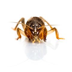 Isolated Mole Cricket