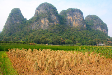 Rice and hill Yangshuo. China.