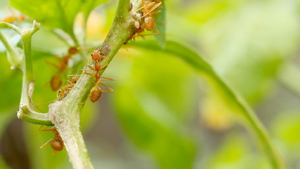 A group of red ants are moving across the tree branch.