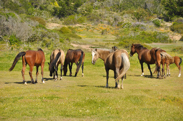 cavalli cileni