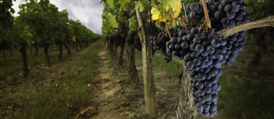 Bunch of red grapes in Bordeaux Vineyards in autumn