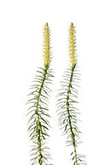 Bristly clubmoss plant isolated on white