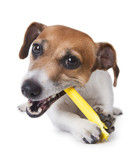 Cute little dog gnawing yellow plastic stick
