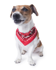 Funny dog face with bandana