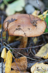 Brown mushroom in the woods.