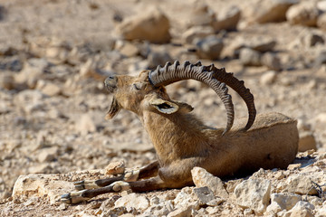 The wild goat (male) at desert of the Negev, Israel