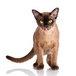 brown burmese cat standing on white