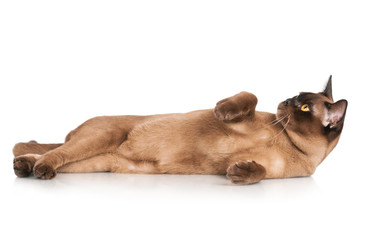 burmese cat lying down with paws in the air
