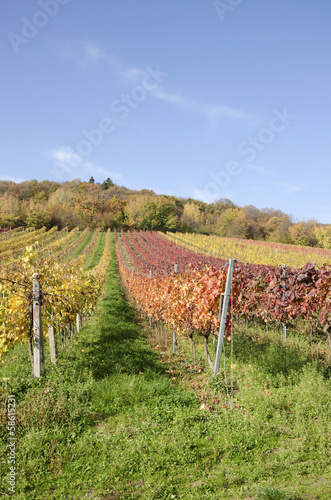 The autumn vineyard
