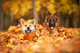 Two dogs lying in leaves - 58616497
