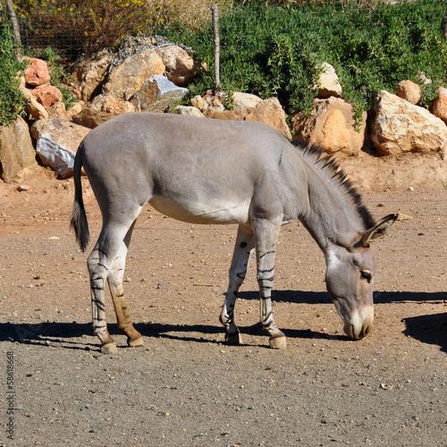 Foto op Aluminium Ezel african somali wild ass
