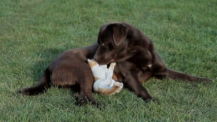 Little orange cat with a brown labrador